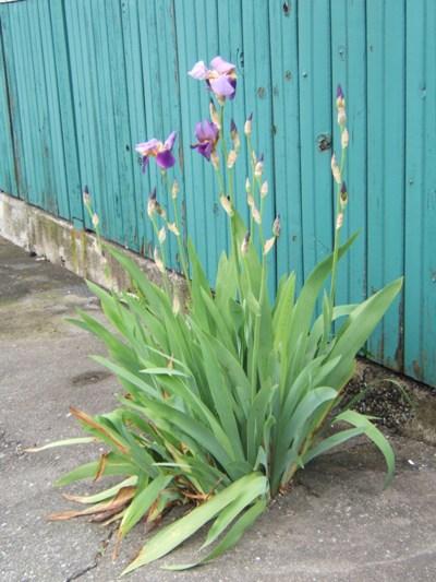 urban-lilies